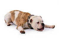 English bulldog Canis lupus f. familiaris, lying on the floor, straddling its forelegs