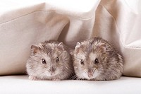 Two hamster in bed