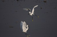 little egret Egretta garzetta, two fighting rivals, Greece, Peloponnes
