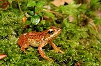 Iberian frog, Spanish frog Rana iberica, juvenile on moss, Portugal, Nationalpark Peneda Geres