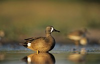 Blue-winged Teal (Anas discors), male feeding, Willacy County, Rio Grande Valley, Texas, USA
