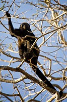 Golden-mantled Howler Monkey Alouatta palliata palliata and baby in a tree at Playa Tamarindo, Costa Rica