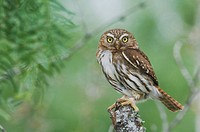 Ferruginous Pygmy-Owl (Glaucidium brasilianum), adult, Willacy County, Rio Grande Valley, South Texas, USA