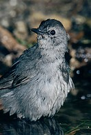 Gray Catbird Dumetella carolinensis, adult bathing, High Island, Texas, USA