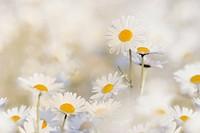 Daisies (Leucanthemum vulgare) in a daisy meadow