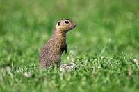 European ground squirrel, European Souslik (citellus Citellus, Spermophilus citellus) standing on its hind legs and exploring the surroundings