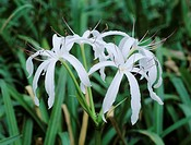 Swamp Lily (Crinum americanum), blooming, Everglades National Park, South Florida, USA
