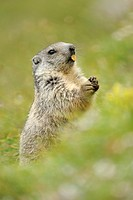 Alpine marmot Marmota marmota, standing on its hind legs eating
