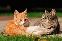 Domestic cats (Felis catus), kitten with mother