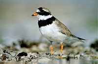 Ringed Plover (Charadrius hiaticula), banded male standing on stony ground