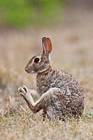 Eastern Cottontail (Sylvilagus floridanus), adult grooming, Sinton, Corpus Christi, Coastal Bend, Texas, USA