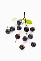 Sloe Prunus spinosa
