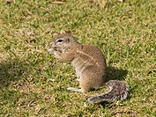 Cape Ground Squirrel Xerus inauris at the camping site in the Waterberg National Park, Namibia, Africa