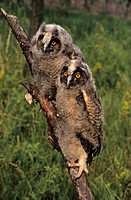 Long-eared Owls (Asio otus), two almost fully fledged young