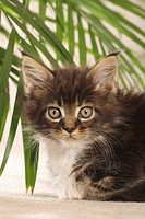Maine Coon cat _ kitten lying _ portrait