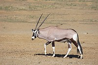 gemsbok _ walking / Oryx gazella