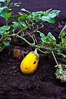Rare yellow eggplant or aubergine on his natural medium and plant