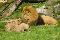 lion with two cubs / Panthera leo