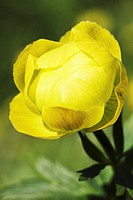 Globe_flower _ yellow blossom / Trollius europaeus