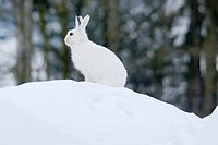 Mountain Hare Lepus timidus in his winter coat