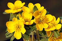 Small Winter aconite (Eranthis hyemalis), Winter aconites, blossoms, close-up