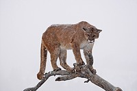 Cougar (Felis concolor), on a tree, Montana, USA