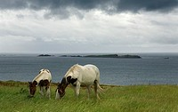 Horses in the 'Causeway Route'  Northern Ireland coast, Europe