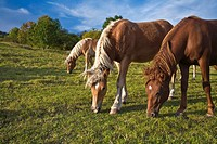 2 palomino and one liver chestnut horses grazing in green grassy pasture, Germany, Thuringia
