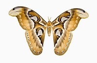 Cincta rothschildia silkmoth, Wild Silk Moths family Saturniidae, Giant Silkworm Moths subfamily Saturniinae