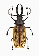 Giant Bolivian long-horned beetle on white background Cerambycidae