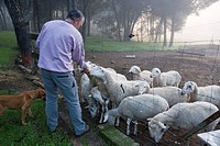 Roland Wassenaar, owner of Villa Matilde estate, with his sheep, Andujar. Sierra Morena, Jaen province, Andalusia, Spain