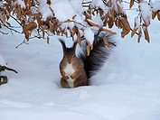 -Squirrel in Shönbrunn Park in Winter- Wien(Austria).