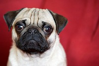 Young pug in front of red backdrop, portrait