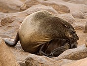 Brown Fur Seal Arctocephalus pusillus on Cape Cross, Namibia, Africa