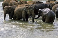 Herd of asian elephants bathing in a river