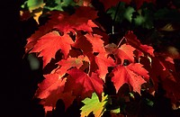 Fall cloured maple leaves, Michigan, USA