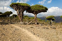 Canary Islands Dragon Tree (Dracaena draco) on Socotra island,UNESCO World Heritage Site, Yemen