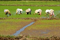 People working in a rice field near Hoi An, Vietnam