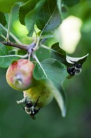 Bees on an apple tree