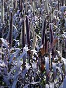 Chinese fountain grass Pennisetum americanum ´Purple Majesty´
