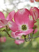 Eastern flowering dogwood Cornus florida 'Rubra'