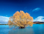 Tree in Lake Tekapo. New Zealand