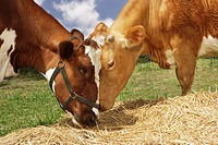 Two brown cows eating hay in field close_up