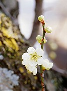 Plum blossoms, Yaita, Tochigi Prefecture, Japan