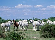 Horses standing in a field, Camargue, France