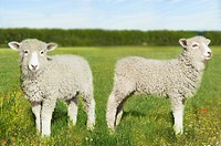 Two lambs in field digital composite