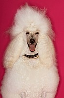 White Poodle on pink background