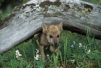 Wolf puppy going under log