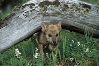 Wolf puppy going under log