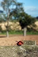 Chestnut on rustic fence, Northumberland, England